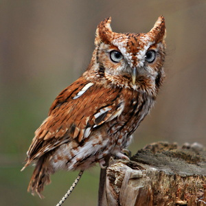 Red Phase Screech Owl #2