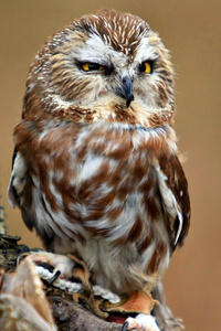 Saw-Whet Owl #1 (I Am Not a Chicken Hawk)