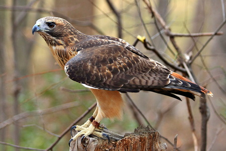 Red Tailed Hawk #3