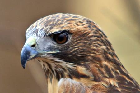 Red Tailed Hawk #5