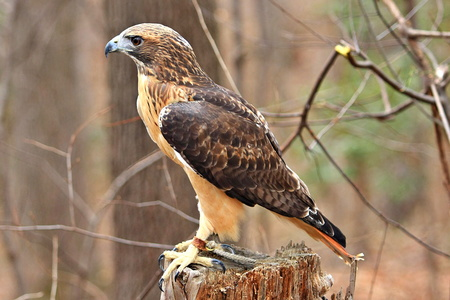 Red Tailed Hawk #1
