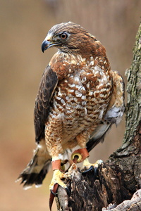 Broad Winged Hawk #4