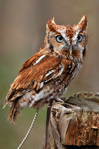 Red Phase Screech Owl #1