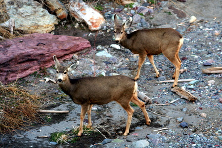 Inquisitive Ouray Deer
