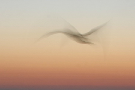 Seagull in Motion