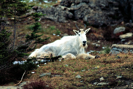 Mountain Goat at Logan Pass