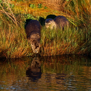 Otter Reflection