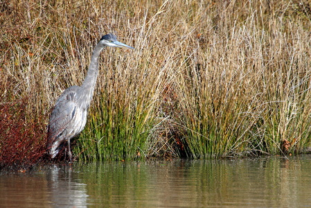 Heron Wading in the Rushes #2