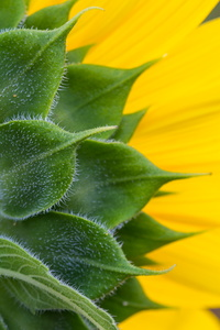 Sunflower Leaves