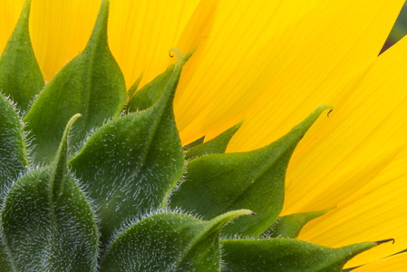Sunflower Leaves #2