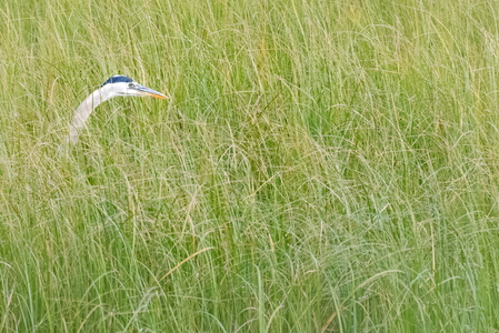 Heron in Tall Grass