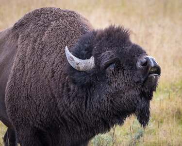 Rutting Bison