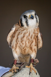 Curious Kestrel