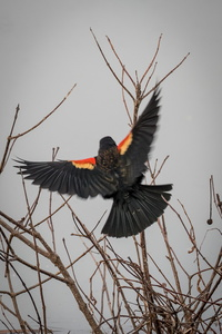 Red-Winged Blackbird #3