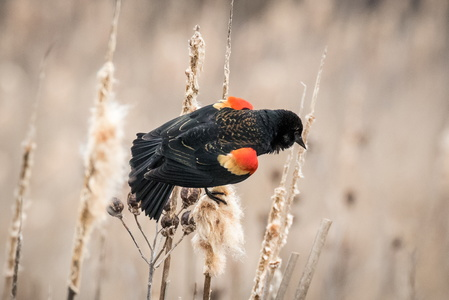 Red-Winged Blackbird #4