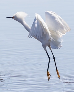 Snowy Egret in Flight #2