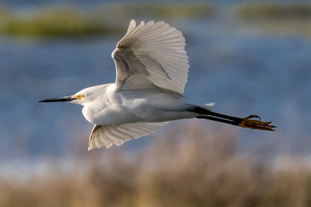 Snowy Egret in Flight #1