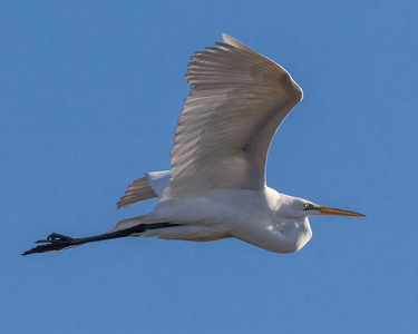 Great Egret in Flight #2