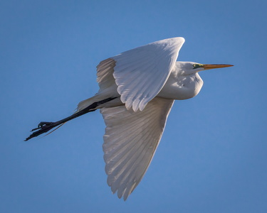 Great Egret in Flight #1