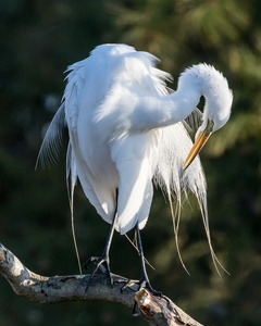 Great Egret #4