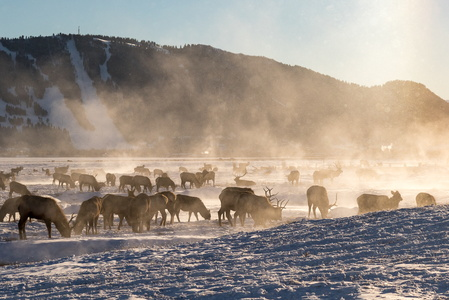 Elk with Fog #2