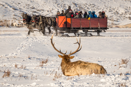 Elk and Sleigh #2