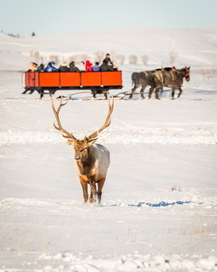 Elk and Sleigh #1