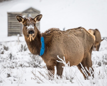 Elk with Blue Band