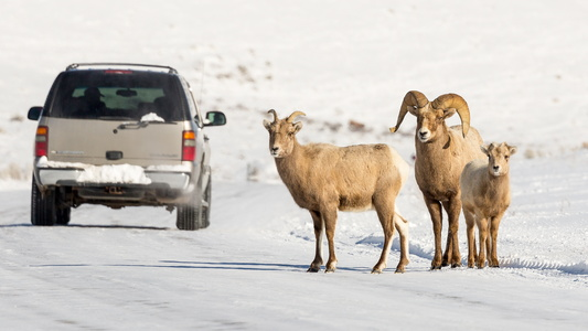 Bighorn Family #6