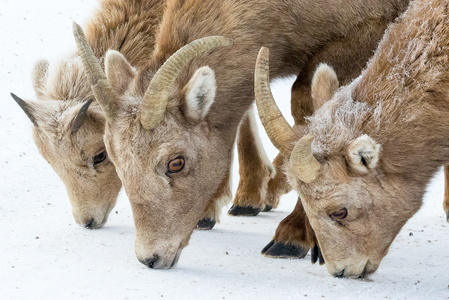 Bighorn Family #4