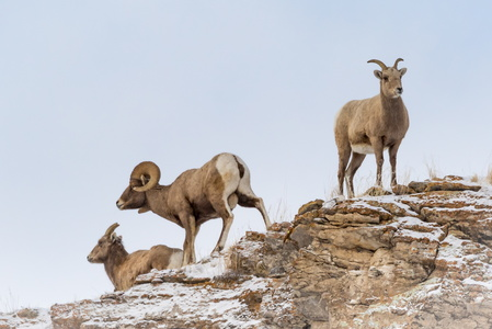 Bighorn Family #1