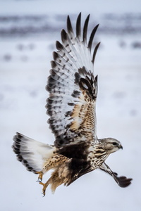 Rough-legged Hawk in Flight #6