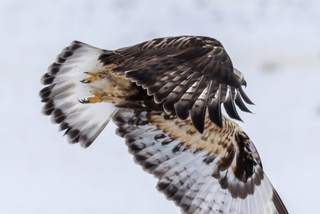 Rough-legged Hawk in Flight #7