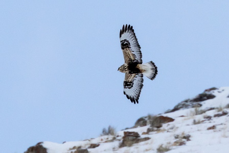 Rough-legged Hawk in Flight #4