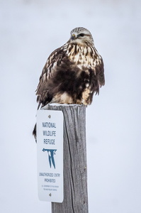 Rough-legged Hawk on a Post