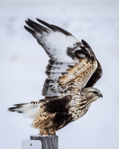 Rough-legged Hawk in Flight #5