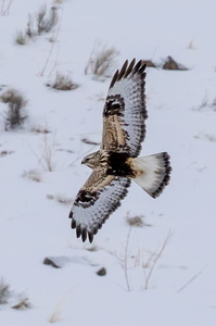 Rough-legged Hawk in Flight #2