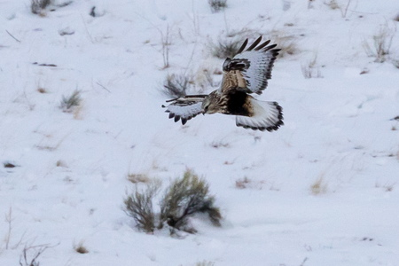 Rough-legged Hawk in Flight #3