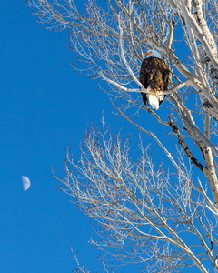 Bald Eagle with Moon