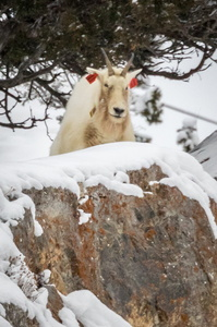 Tagged Mountain Goat #3