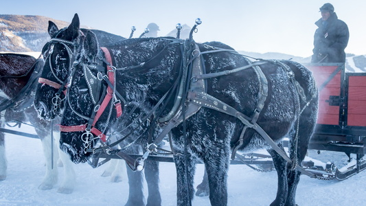 Horses with Icicles