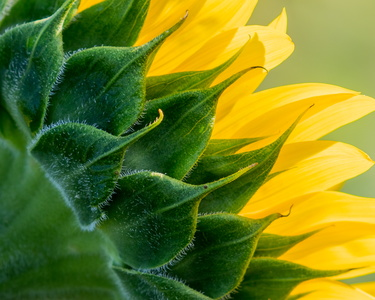 Sunflower at an Angle