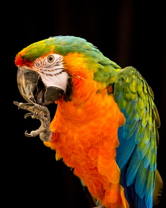 Catalina Macaw with Foot