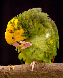 Double Yellow Naped Macaw