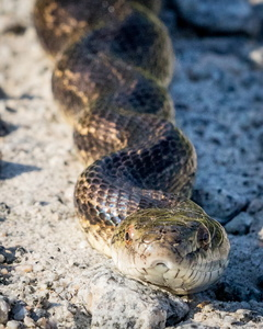 Cottonmouth in the Road #3