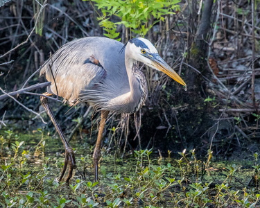 Heron Walking