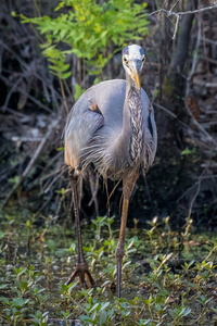 Heron Walking #2