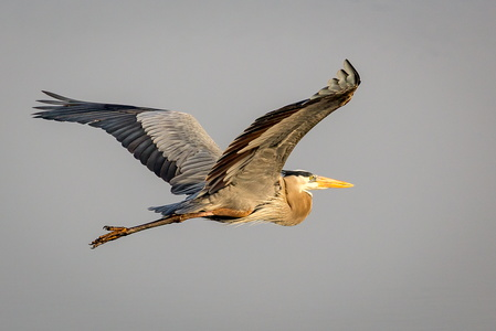 Flying Heron #9