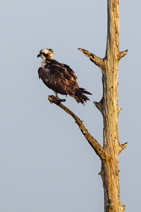 Perched Osprey #1