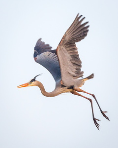 Flying Heron #3
